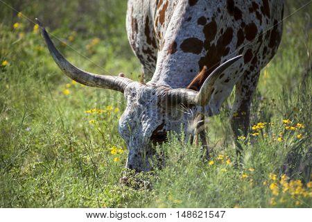 A Texas Longhorn grazes in a field with wild flowers.