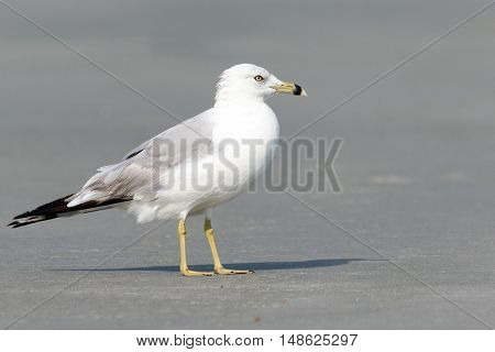 Close up of a lone seagull on the beach