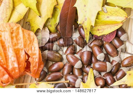 Acorns colorful autumn leaves and Chinese lantern plant