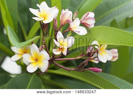 White plumeria in garden,in the morning, good weather