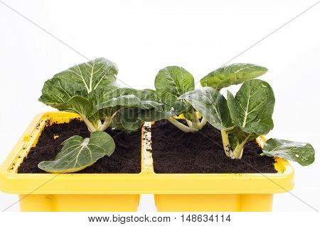 green bok choy vegetable in pot on white background