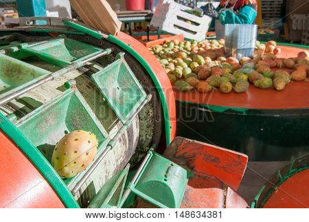 Just picked and dethorned prickly pears in the conveyor belt for the automatic calibrating process