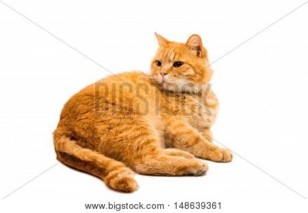 Red british male cat on white background