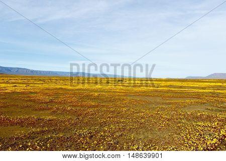 Yellow Landscape Plateau Tankwa Karoo