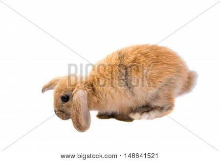 Rabbit Ram breed red color isolated on white background.