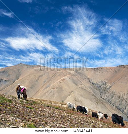 DOLPO, NEPAL - SEPTEMBER 5, 2011: Tibetan nomad with yaks walking across mountain pass in the Nepal Himalaya