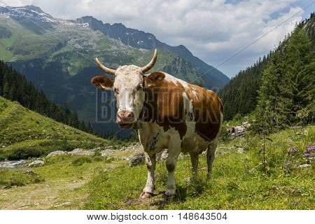 Cow with horns and flies on her nose in Austrian Mountainsat Mayrhofen in Tirol.