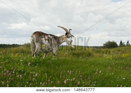 Goat eating grass in the summer meadow.