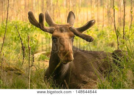 Young Elk Laying In The Grass