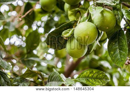Three green oranges are waiting to mature