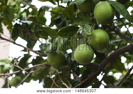 Three green oranges are anging from an orange tree