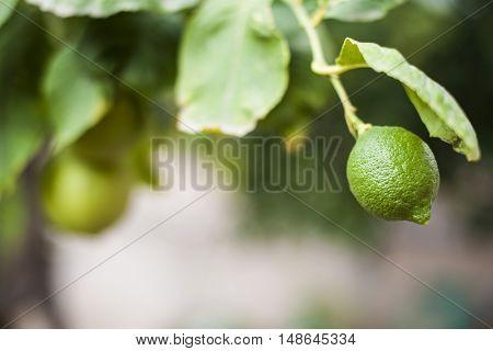 A lemon is hiding under a leaf