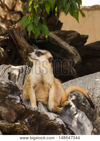 Close up single meerkat on the stone