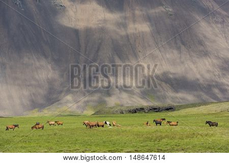 Icelandic Horses in a meadow and a mountain with clouds in the background on Iceland.