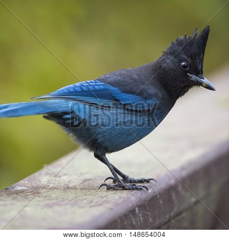 Steller's Jay perched on a hand rail British Columbia Canada
