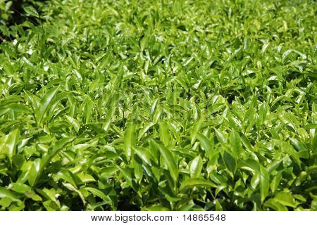 Tea plants crop in plantation estate in Cameron Highlands Malaysia