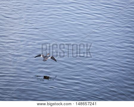 A Eurasian Widgeon Bird Flying over Water.