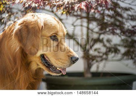 a beautiful Labrador dog in the garden