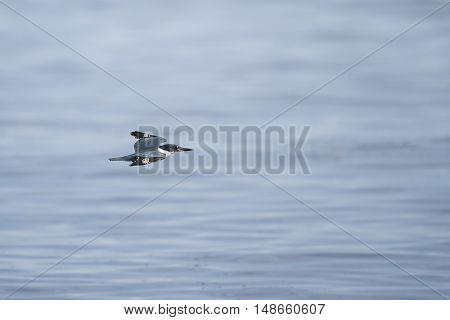 Belted Kingfisher in flight over the Pacific Ocean