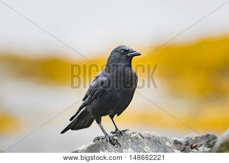Common crow perched on a rock on the pacific coast