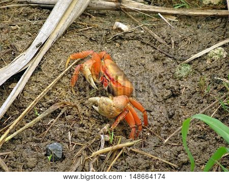Land crab with white claws. Photographed in a swamp on the island of Marie Galante (archipelago of Guadeloupe, French Antilles). Natural colors and light.