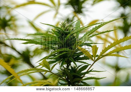 flowering Leafy Top Marijuana Bud on Cannabis outdoor Plant