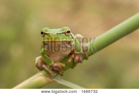 Stare Of Tree Frog