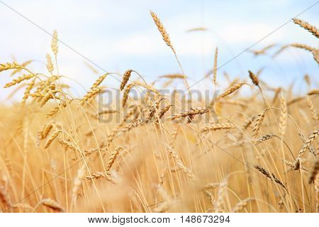 Close up of gold ripe wheat or rye ears against blue sky. Summer sunday. Selective focus.