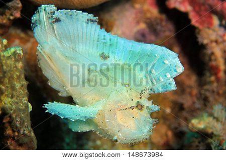 Leaf Scorpionfish (Taenianotus Triacanthus aka Leaf Fish Paperfish). Flores Indonesia