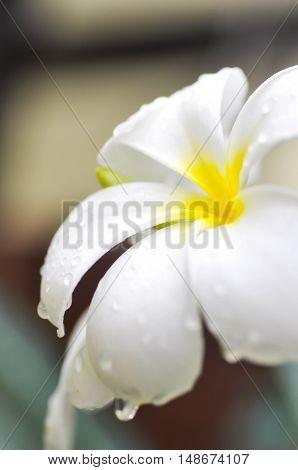 dew drop on plumeria flower or pagoda tree in blur background