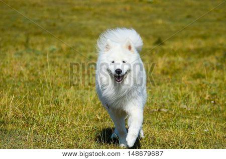 siberian samoyed, White husky dog in forest.