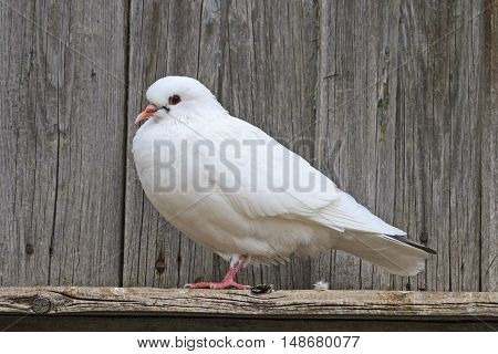 White pigeon standing on one leg against the background of boards, symbol peace