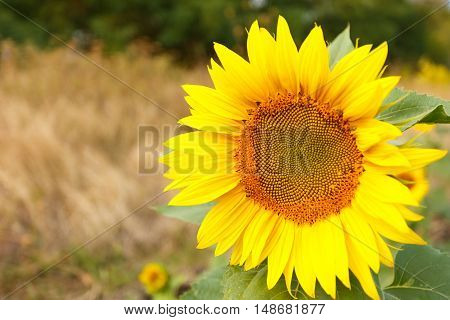 Close up of sunflower head in the field