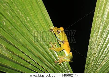 Green and yellow colored palm tree frog sitting on a palm leaf in Mindo, Ecuador