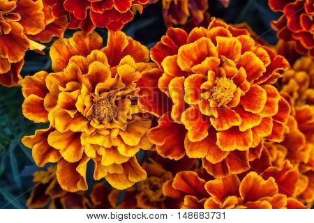 Big yellow marigold flowers in garden, Tagetes erecta, top view