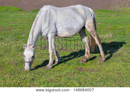 white thin horse grazing green grass on the meadow