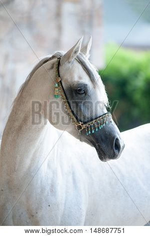arabian stallion in a traditional show halter