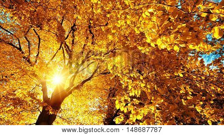Autumn sun beautifully shining through the yellow leaves of a beech tree