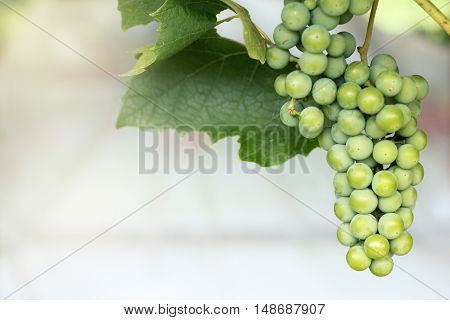 Bunch of ripening grapes hanging on the vine in the green leaves of summer / decoration for the garden