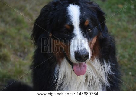 Obedient Bernese mountain dog sitting on command.
