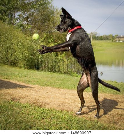 Silly black dog on hind legs in mid leap reaching for tennis ball hanging in mid air outdoors in park