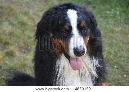 Beautiful Benrese mountain dog with slightly damp fur.