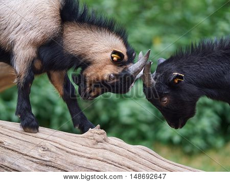 Two small goats standing on a tree trunk fighting each other