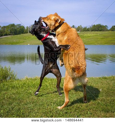 Two mutts energetically and dramatically play fighting with each other on hind legs before a body of water