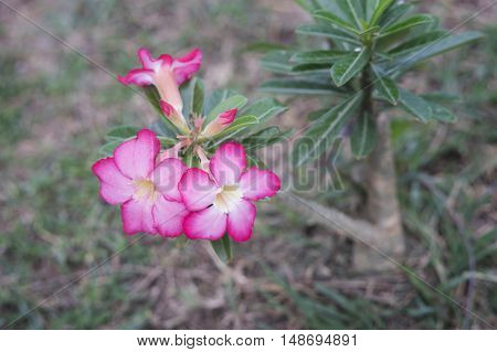 close up of Desert Rose,Impala Lily,Mock Azalea on ground,selective focus,filtered image