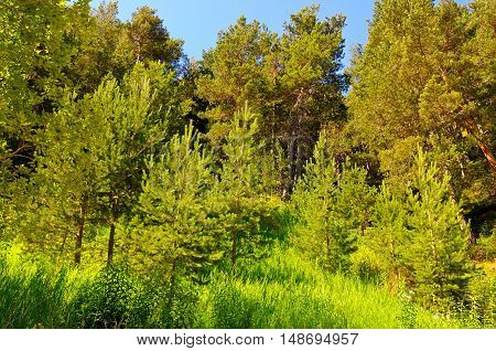 spruce forest on the hillside and sky