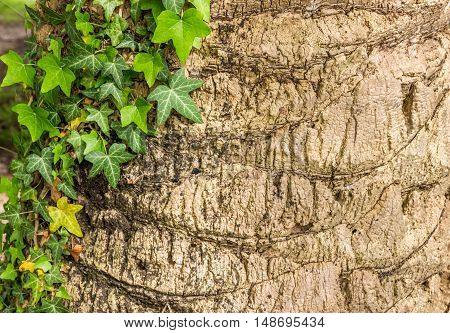 Twine plant on palm trunk. Background, Texture