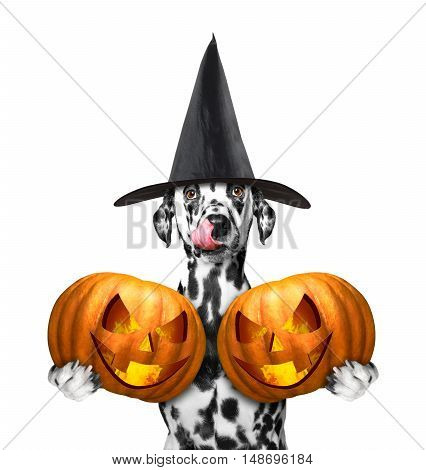 dog in a costume with two halloweens pumpkins -- isolated on white