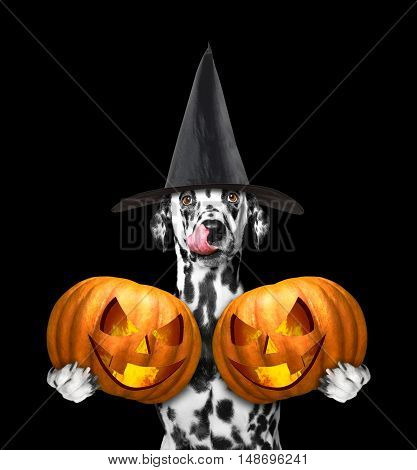 dog in a costume with two halloweens pumpkins -- isolated on black