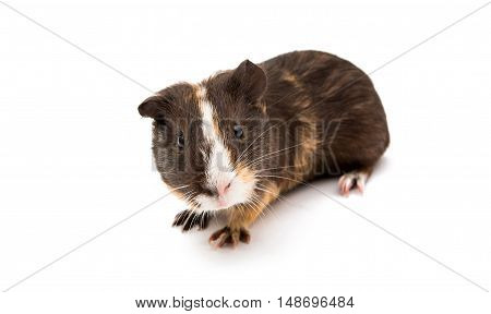 guinea pig little animal isolated on white background